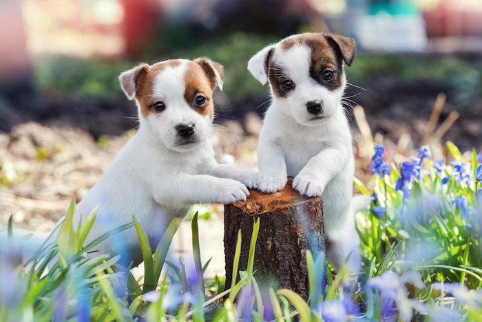 Jack Russell pets resting on a log, surrounded by lavender